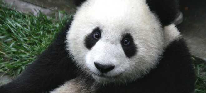 Панда — главное животное Китая