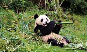 Заповедник панд в Чэнду