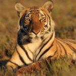 Китайский тигр