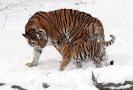 Парк тигров